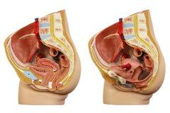 Anatomisk modellkvinnligbäcken royaltyfri bild