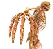 Anatomy. Golden Skeleton. 3D Computer Animation Royalty Free Stock Images