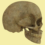 Anatomy Royalty Free Stock Photo