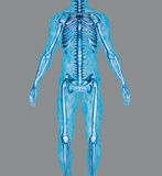 Anatomy. Anatomically correct model of human body isolated on a gray background stock illustration