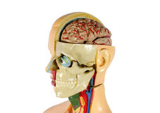 Anatomy. Human structure stock photo