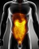 Anatomy of abdomen. Male anatomy of human organs in x-ray view Stock Illustration
