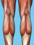 Anatomy of back of legs. Royalty Free Stock Images