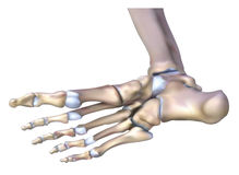 Anatomy of bone under the feet Royalty Free Stock Photo