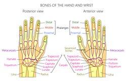 Anatomy_bones του ανθρώπινου χεριού Στοκ Φωτογραφίες