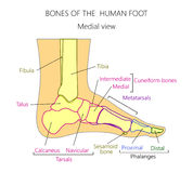 Anatomy_bones of the human foot medial view. Vector illustration of a human leg with denominations of the bones of the foot. Anatomy of medial or side view of stock illustration