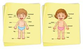 Anatomy of boy and girl Royalty Free Stock Photo