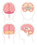 Anatomy - Brain 1 Royalty Free Stock Photography