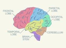 Anatomy of the brain Stock Photo