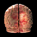 Anatomy Brain - Back View Stock Photo