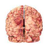 Anatomy Brain - Back View Isolated Stock Photos