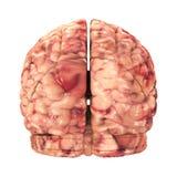 Anatomy Brain - Back View Isolated Stock Photos