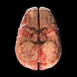 Anatomy Brain - Bottom View Royalty Free Stock Image