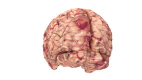 Anatomy Brain - Isolated on White - 4K resolution stock footage