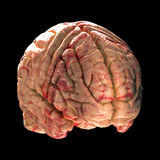Anatomy Brain - Isometric View Stock Photo