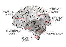 Anatomy of the brain in monochrome Royalty Free Stock Photography