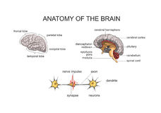 ANATOMY OF THE BRAIN. NORMAL ANATOMY OF THE BRAIN Stock Photography