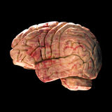Anatomy Brain - Side View. On Black Background Royalty Free Stock Photography