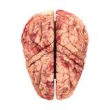 Anatomy Brain - Top View Stock Image
