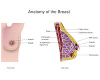 Anatomy of the breast Royalty Free Stock Photography