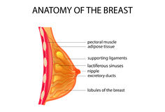 Anatomy of the breast. Vector illustration of anatomy of the breast Royalty Free Stock Photography