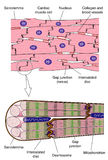 Anatomy of cardiac muscle. The anatomy of heart (cardiac) muscle, showing the gross arrangement and microscopic detail Stock Photography