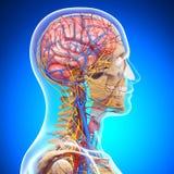 Anatomy of circulatory system of brain. 3d art illustration of Anatomy of circulatory system of brain Royalty Free Stock Image