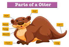 Anatomy of cute otter. Illustration Royalty Free Stock Photo