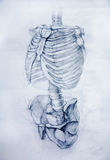 Anatomy.Drawing studio works Royalty Free Stock Images