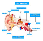 Anatomy of ear. Anatomy of the ear labeled with annotation Stock Images