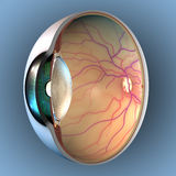 Anatomy of Eye. Sagittal section of left eyeball showing the major anatomical parts Royalty Free Stock Photography