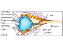 Anatomy of the eye, detailed illustration. Anatomy of the healthy eye, detailed illustration Royalty Free Stock Images