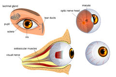 Anatomy of the eye. the eyeball, iris,pupil. Anatomical illustration of the eye. the eyeball entirely and in the contex Stock Photo