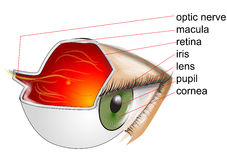 Anatomy of eye Stock Photos