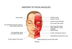 Anatomy of facial muscles. Vector illustration of anatomy of the facial muscles. scheme stock illustration