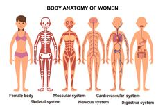 Anatomy of the female body. Anatomical poster. stock illustration