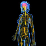 Anatomy of female body nervous system with brain. 3d art illustration of anatomy of female body nervous system with brain Royalty Free Stock Photography