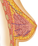 Anatomy of female breast. Anatomy of the breasts of a woman Royalty Free Stock Images