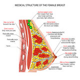 Anatomy of the female breast Stock Photos