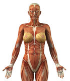 Anatomy of female frontal muscular system. Body without skin anterior view stock illustration