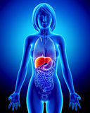 Anatomy of female liver in blue x-ray. 3d art illustration of Anatomy of female liver in blue x-ray Stock Photo