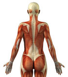 Anatomy of female muscular system. Body without skin posterior view stock illustration
