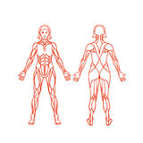 Anatomy of female muscular system, exercise and Stock Images