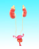 Anatomy of female renal system. 3D art illustration of Anatomy of female renal system Stock Photo