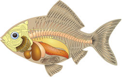 Anatomy of a fish. Illustration cross section fish anatomy Royalty Free Stock Photo