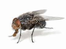 Anatomy of a fly Stock Photo