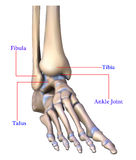 Anatomy of foot bone. The anatomy of the foot bones on a white background Royalty Free Stock Photos