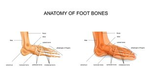 Anatomy of the foot bones royalty free illustration