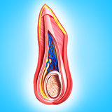 Anatomy of front view of Scrotal layers Royalty Free Stock Photos