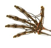 Anatomy Golden Hand. Golden Skeleton. 3D Computer Animation Royalty Free Stock Photos